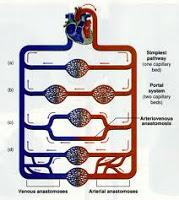 regulacion circulacion periferica